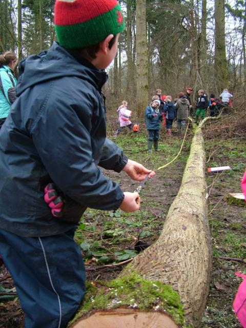Boy measures length of a fallen tree in a woodland
